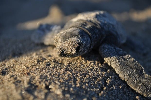 "Turtle hatchlings take just an hour to build up enough energy to head back ""home""."